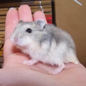 Nombre de hamster - Remolino
