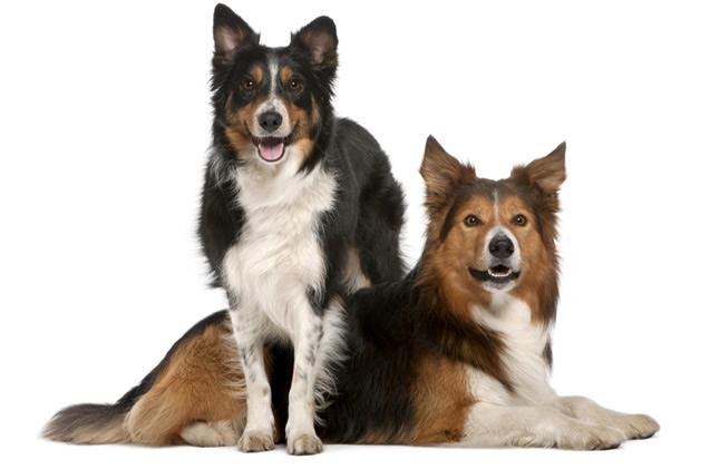 Los perros más inteligentes y obedientes - Border Collie